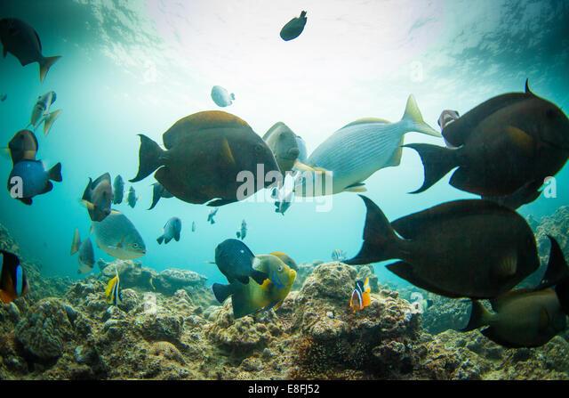 Fish swimming underwater, Okinawa, Japan - Stock Image