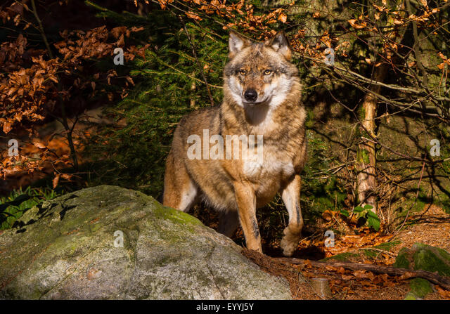 European gray wolf (Canis lupus lupus), standing watchfully at a rock in an autumn forest, Germany, Bavaria, Bavarian - Stock-Bilder