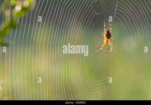 Garden spider (Araneus diadematus) - Stock-Bilder