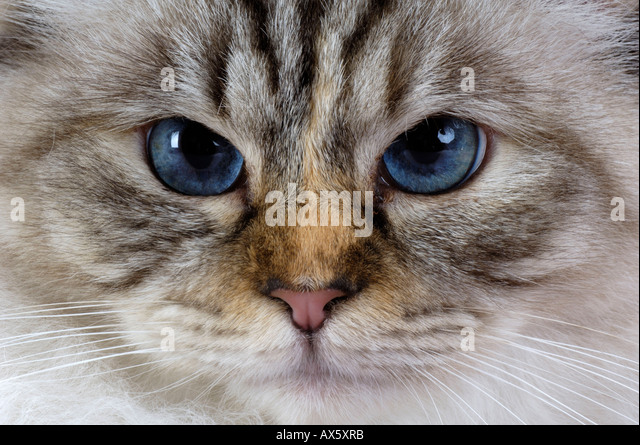 Sacred Cat of Birma / Birman  - Stock Image
