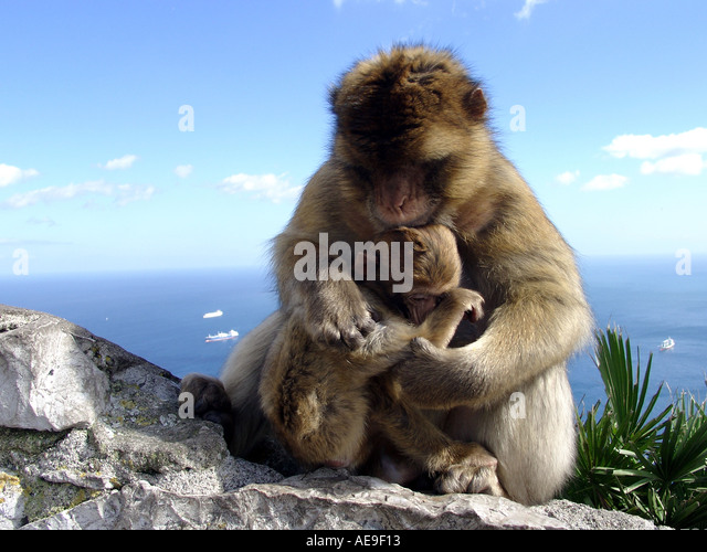 Parent Child Gibraltar Apes Macaca sylvanus L Upper Rock Nature Reserve - Stock Image
