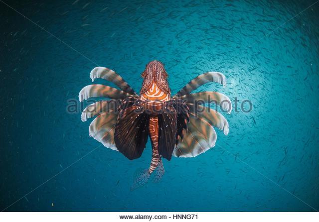 Baitfish attract a venomous lionfish. - Stock Image