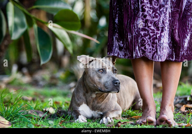Brown brindle Pitbull laying in grass at the feet of barefoot woman in purple dress - Stock Image