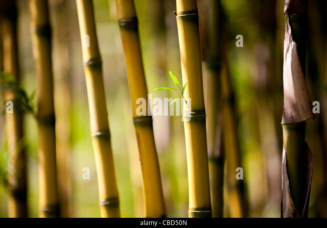 Sprouting bamboo leaves - Stock Image
