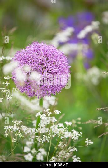 Alliums - Stock Image