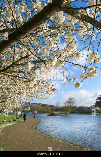 Trenance Boating Lake Water Blossom Trees Visitor Attraction Tourism Sunny Sunshine Spring Season - Stock Image