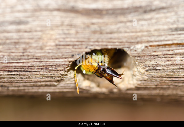 Carpenter bee in the nature or in the garden.It's danger - Stock Image