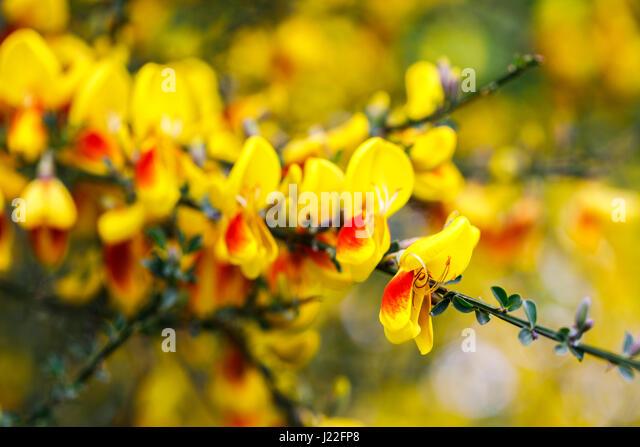 Yellow Broom Stock Photos Amp Yellow Broom Stock Images Alamy