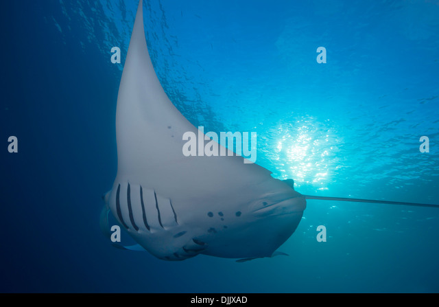 Manta Ray, Manta birostris feeding on plankton, German Channel, Palau, Micronesia, Pacific Ocean - Stock Image