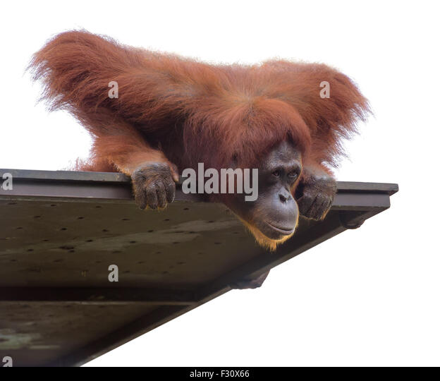 Adult orangutan looking down from its platform, isolated on white - Stock Image
