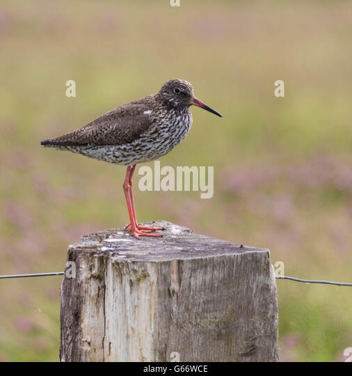 redshank sitting on a wooden pole at the coastline - Stock Image
