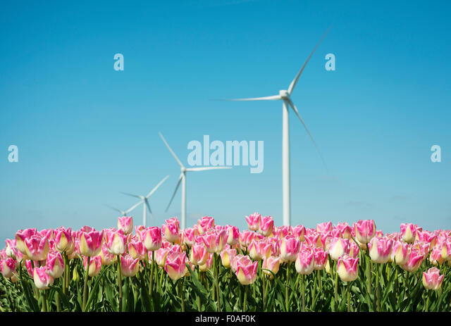 Field with pink tulip blooms and wind turbines, Zeewolde, Flevoland, Netherlands - Stock Image
