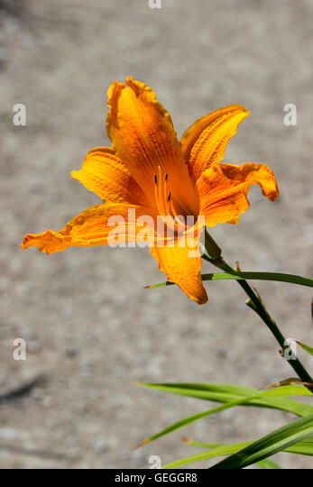 Vivid yellow orange trumpet flower  of the day lily, Hemerocallis 'Burning Daylight' - Stock Image