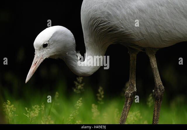 Paradise crane, anthropoid paradisea, portrait, - Stock-Bilder