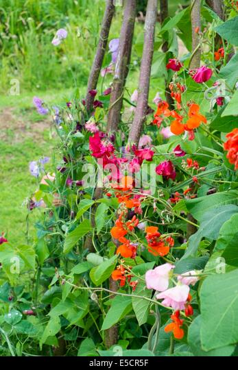 Summer garden with Runner beans growing alongside old fashion sweet peas, trained up hazel poles. England, July - Stock Image