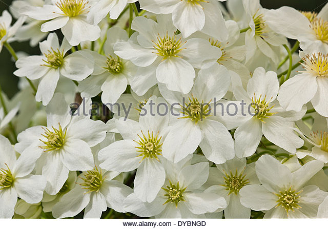 cream clematis stock photos cream clematis stock images. Black Bedroom Furniture Sets. Home Design Ideas