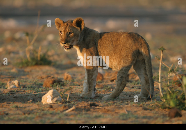 Young Lion Cub in late sunlight in Etosha National Park, Namibia, Africa. Panthera Leo. - Stock Image