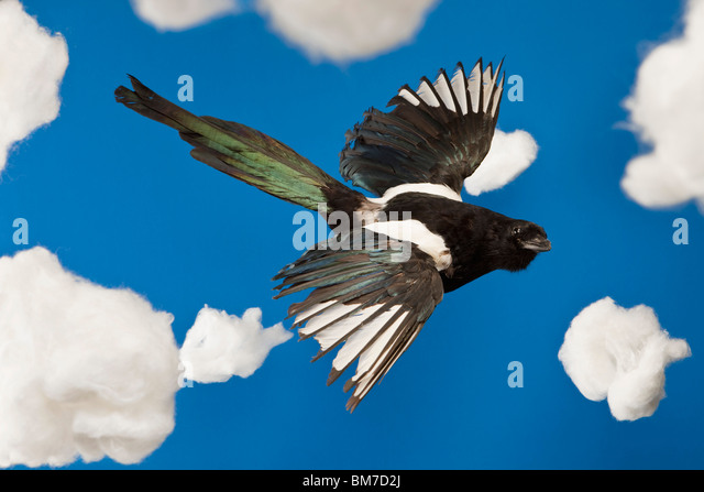 A stuffed bird flying in a fake sky - Stock Image