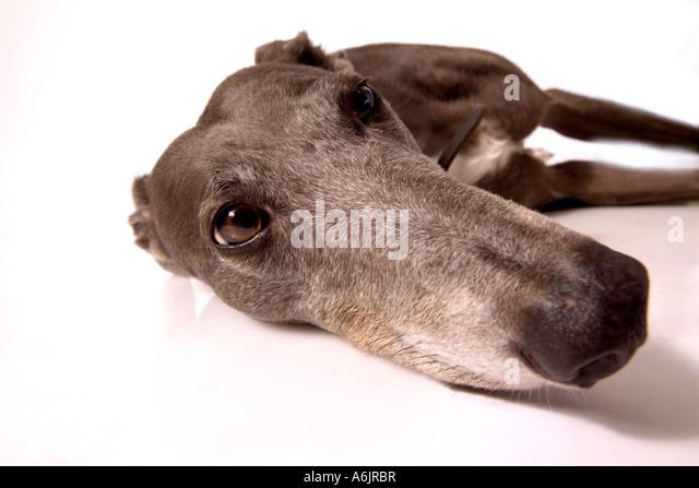 Long Hound - Stock Image