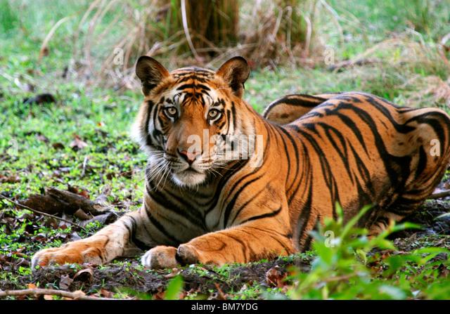 The Royal Bengal Tiger (Panthera tigris tigris), Bandhavgarh National Park, Madhya Pradesh, India, Asia - Stock-Bilder