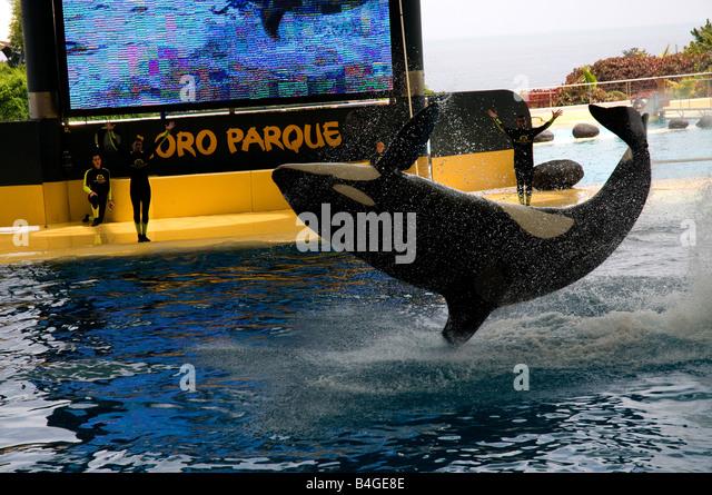 Orca (Orcinus orca) show in Loro Parque in Puerto de la Cruz, Tenerife, Canary Islands, Spain - Stock Image