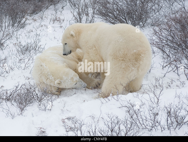 Polar bears wrestling in the snow, Churchill, Canada - Stock Image