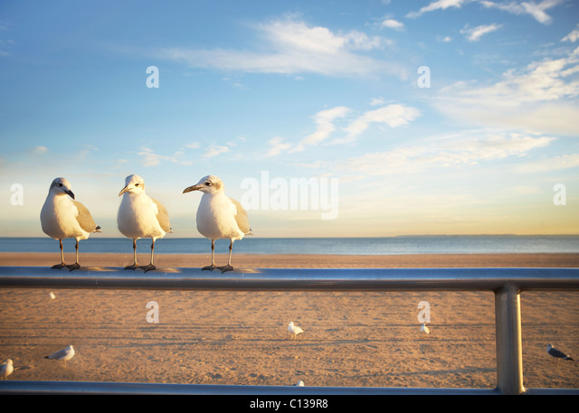 USA, New York City, Coney Island, three seagulls perched on railing - Stock-Bilder
