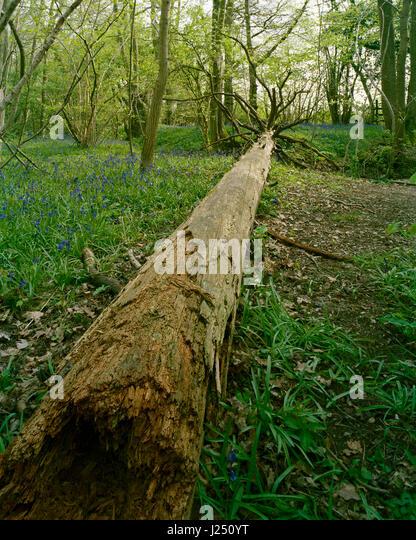 Fallen tree in Gransden and Waresley Wood Cambridgeshire - Stock Image
