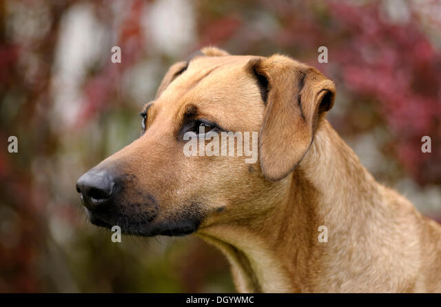 Mixed-breed Rhodesian Ridgeback, portrait - Stock Image