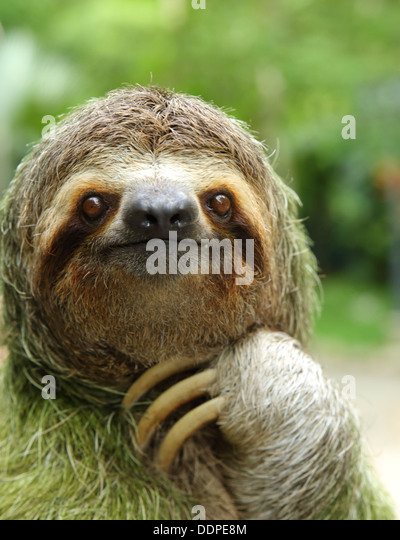 Closeup of a three-toed sloth, Costa Rica - Stock-Bilder