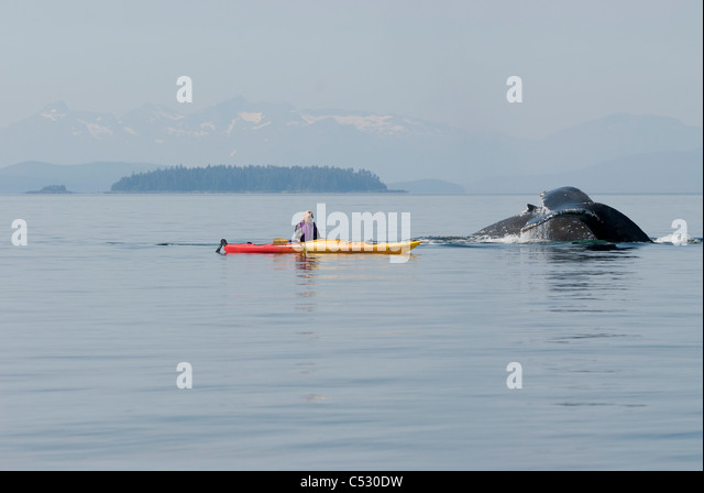 Humpback whale surfaces near a woman sea kayaker in Frederick Sound, Inside Passage, Southeast Alaska, Summer - Stock Image