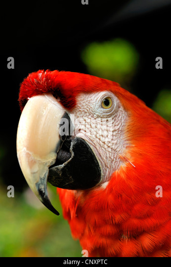 Green-winged Macaw (Ara chloroptera), portrait - Stock-Bilder