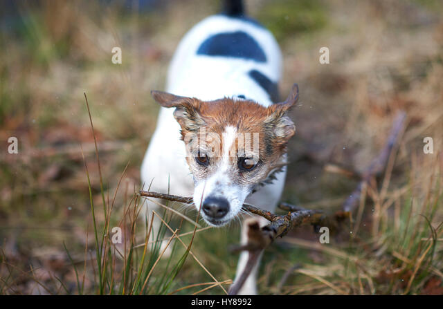 A jack russell terrier plays with a stick during a walk in the woods - Stock Image