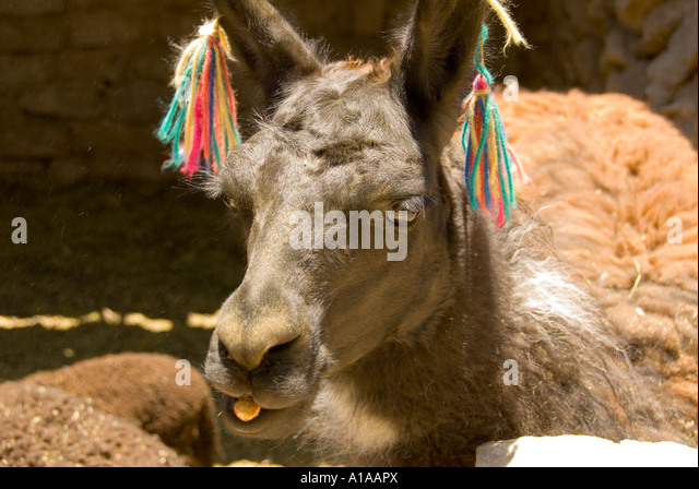 Chile Atacama desert llama with ribbons on its ears - Stock Image