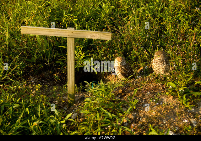 Burrowing owl Athene cunicularia near man made perch - Stock Image