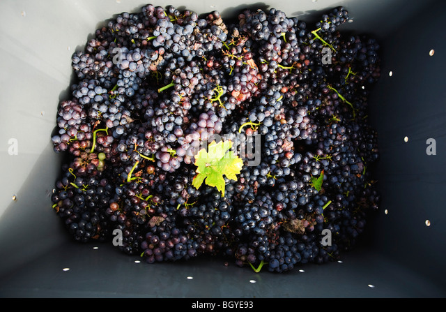 Harvested red grapes in plastic bin - Stock Image