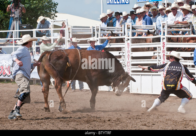 Bull after throwing a cowboy, Strathmore Heritage Days, Rodeo, Strathmore, Alberta, Canada - Stock Image
