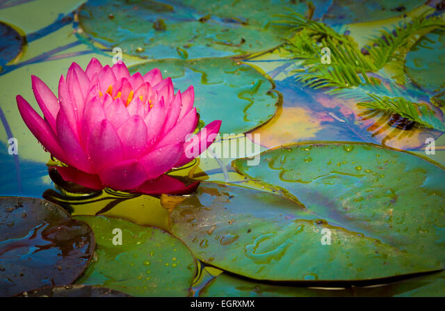 Nymphaeaceae is a family of flowering plants, such as this water lily. - Stock-Bilder