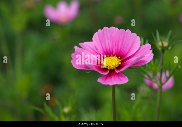 Cosmos Asteraceae - Stock Image