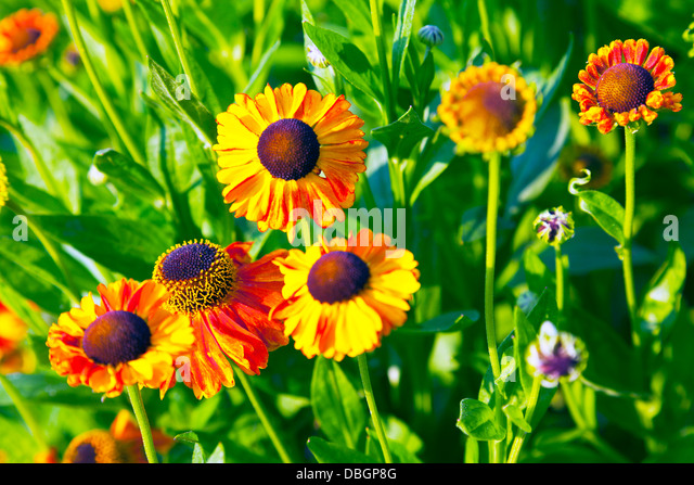 Sahins early flowerer stock photos sahins early flowerer for Typical landscaping plants