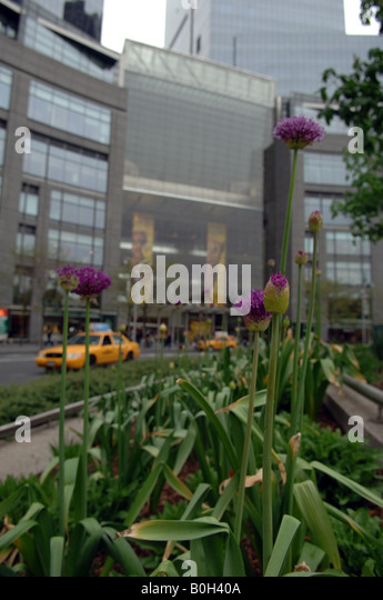 Alliums planted in Columbus Circle in New York opposite the Time Warner Center - Stock Image