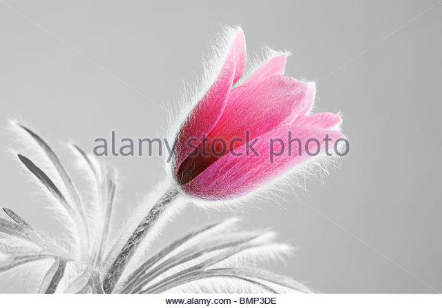 Pulsatilla vulgaris - Pasque flower - Stock Image