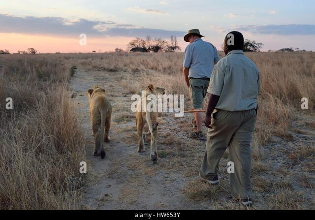 Zimbabwe Midlands Province Gweru Antelope Park home to ALERT (African Lion and Environmental Research Trust) lion - Stock Image