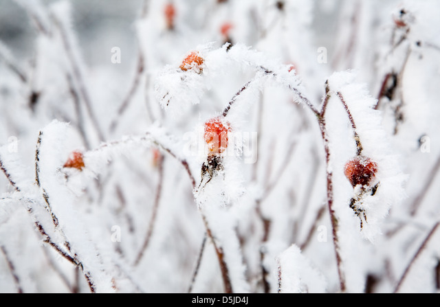 Rose bushes covered with white snow and frost - Stock Image