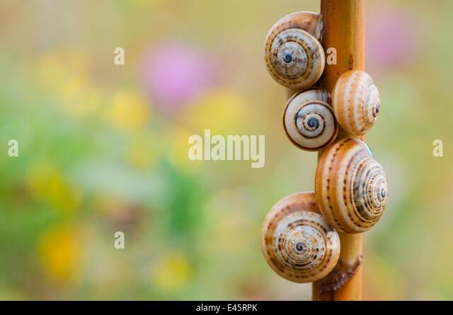 Brown-lipped / Grove / Banded snails (Cepaea nemoralis) on plant stem, Menorca, Balearic Islands, Spain, Europe - Stock Image