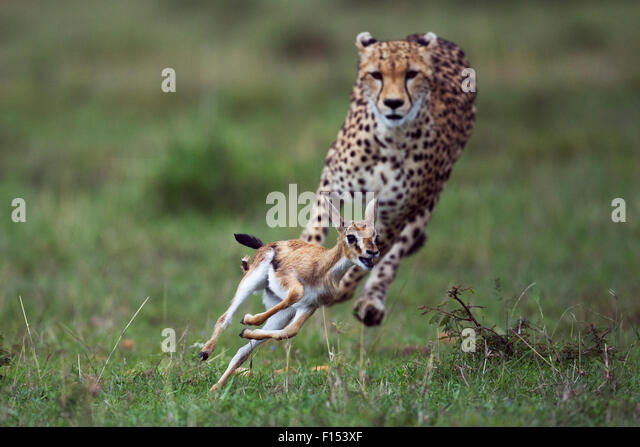 Cheetah (Acinonyx jubatus) cub aged around  one year about to bring down a Thomson's gazelle fawn (Eudorcas - Stock Image