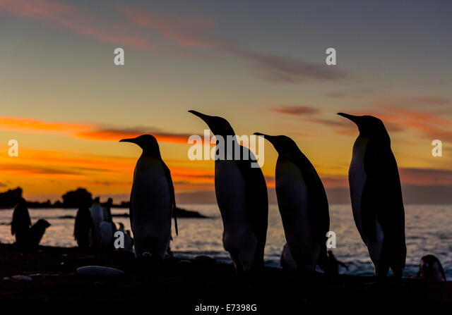 King penguin silhouetted at sunrise at breeding colony at Gold Harbor, South Georgia, UK Overseas Protectorate - Stock Image
