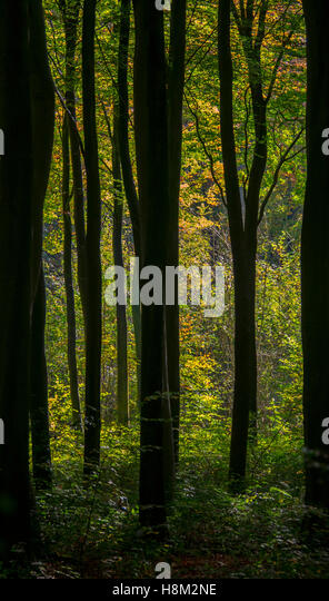 Early autumn among the silver birch trees of an English wood. Eartham Wood near Chichester, West Sussex - Stock Image