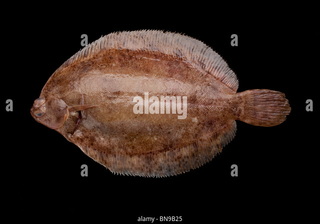 Lemon sole (Microstomus kitt) a flatfish native to shallow seas of Northern Europe - Stock-Bilder