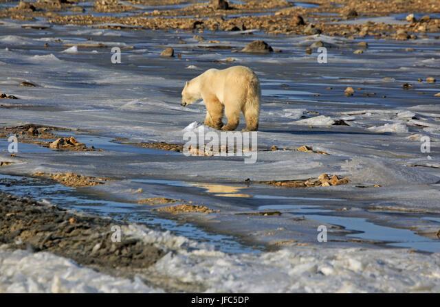 Polar bear in the tundra - Stock Image
